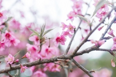 Branch-of-Wild-Himalayan-cherry