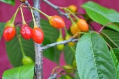 Mature-fruits-of-Wild-Himalayan-cherry