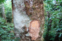 Bark-of-Wild-Honeytree
