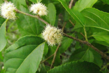 Flowers-of-Wild-Honeytree