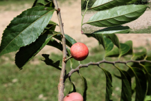 Fruiting-branch-of-Wild-Honeytree