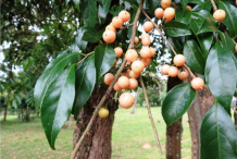 Ripe-Wild-Honeytree-fruit