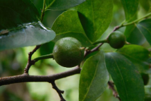Unripe-Wild-Honeytree-fruit