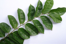 Dorsal-view-of-leaves