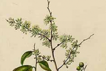 Plant-Illustration-of-Wild-Honeytree