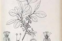 Wild-Honeytree-Sketch