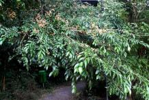 Wild-Honeytree-plant