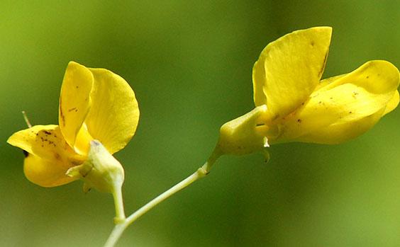 Closer-view-of-Flower-of-Wild-Indigo
