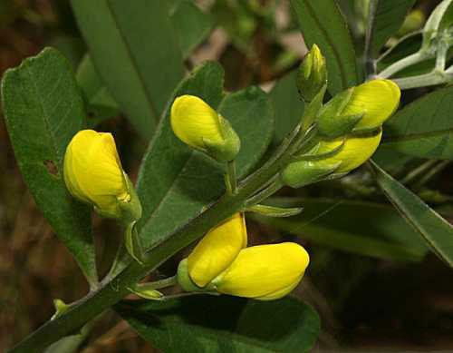 Flowering-buds-of-Wild-Indigo