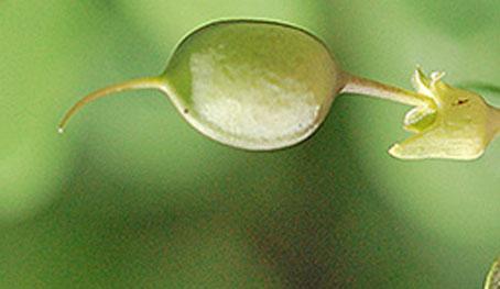 Green-pods-of-Wild-Indigo