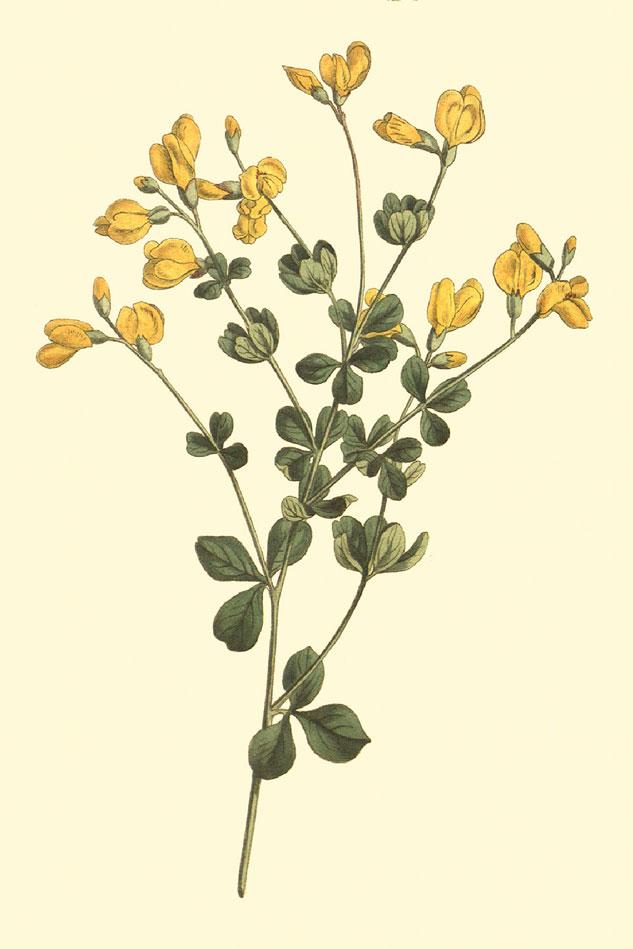 Plant-Illustration-of-Wild-Indigo