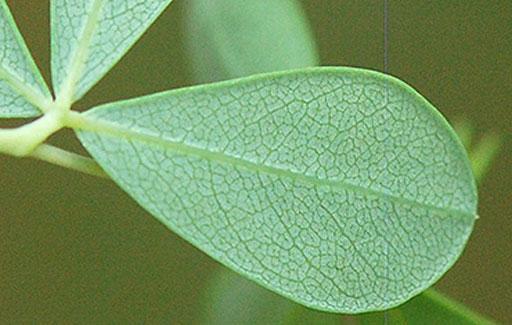 Ventral-view-of-Leaf-of-Wild-Indigo