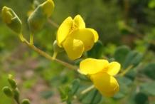 Flowers-of-Wild-Indigo