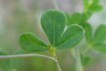 Leaves-of-Wild-Indigo