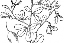 Sketch-of-Wild-Indigo