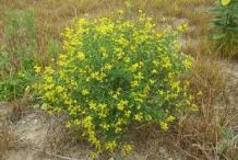 Wild-Indigo-plant-growing-wild
