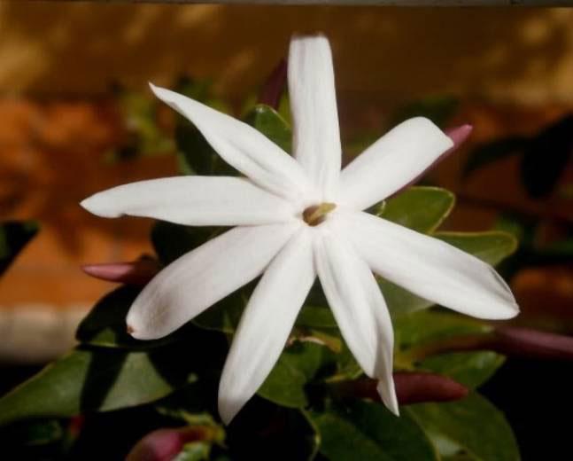Closer-view-of-flower-of-Wild-jasmine