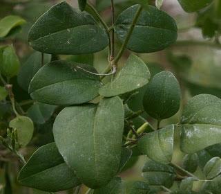Leaves-of-Wild-jasmine
