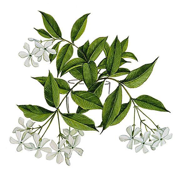 Plant-illustration-of-Wild-jasmine