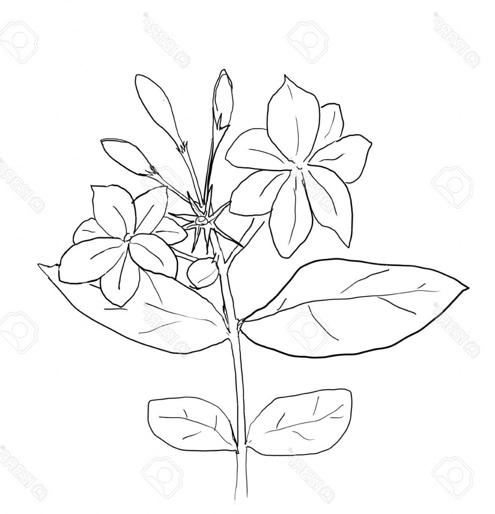 Sketch-of-Wild-jasmine