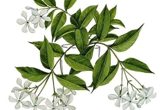 Plant-illustration-of-Wild-jasmine