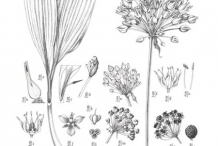 Plant-illustration-of-Wild-Leek