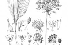 Plant-illustration-of-Wild-Leek
