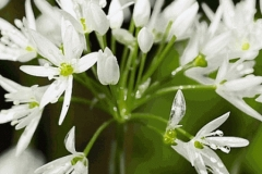 Flowers-of-Wild-Leek