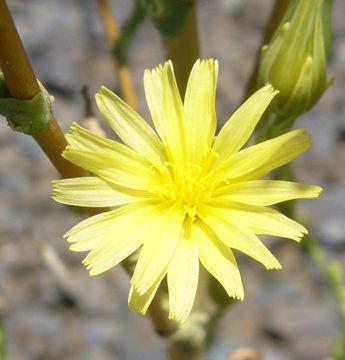 Flower-of-Wild-Lettuce