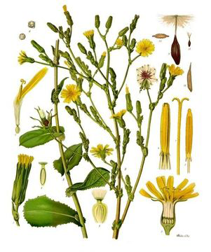 Illustration-of--Wild-Lettuce-plant