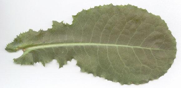 Lower-Cauline-leaf-of--Wild-Lettuce
