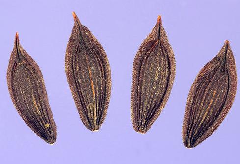 Seeds-of--Wild-Lettuce-plant