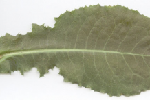 Lower-Cauline-leaf-of--Wild-Lettuce