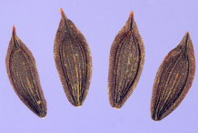 Seeds-of--Wild-Lettuce-plant