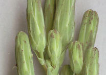 Buds-of--Wild-Lettuce-plant