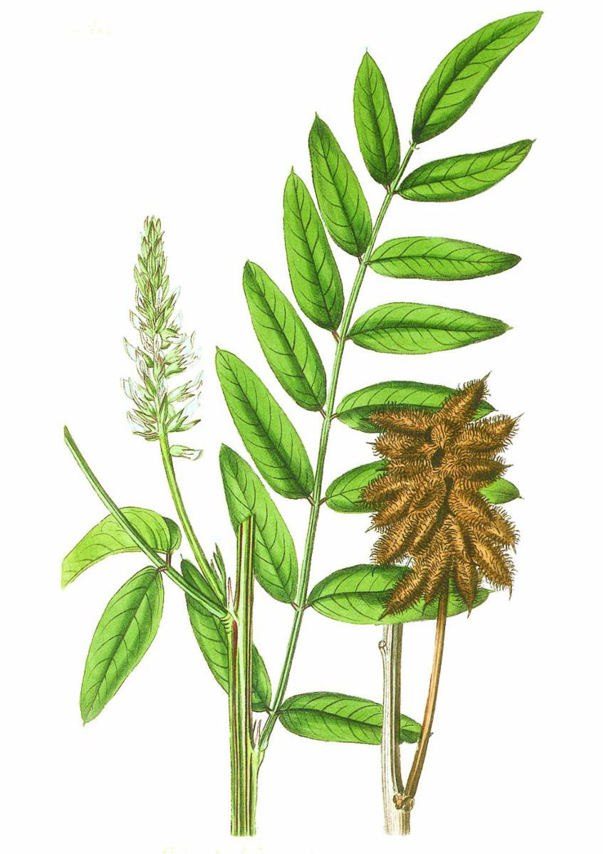 Plant-illustration-of-Wild-Licorice