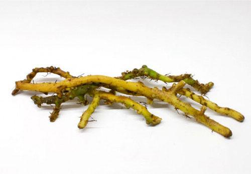 Roots-of-wild-licorice