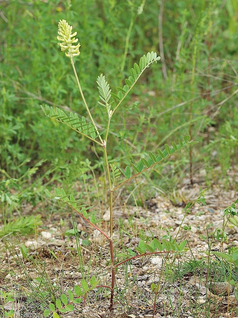 Wild-Licorice-Plant