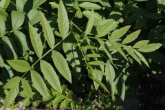 Leaves-of-Wild-Licorice