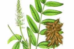 Plant-illustration-of-Wild-Licorice
