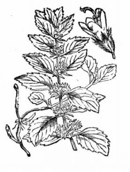 Sketch-of-Wild-mint