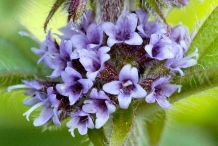 Closer-view-of-flowers-of-Wild-mint