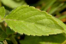 Closer-view-of-leaves-of-Wild-mint