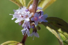 Flowers-of-Wild-mint