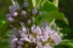 Flowering-buds-and-flowers-of-Wild-mint
