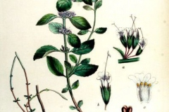 Plant-Illustration-of-Wild-mint