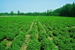 Wild-mint-farming