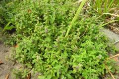 Wild-mint-plant