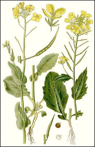 Plant-Illustrations-of-Wild-mustard
