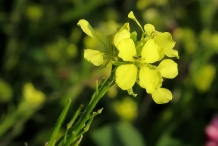 Closer-view-of-flower-of-Wild-mustard